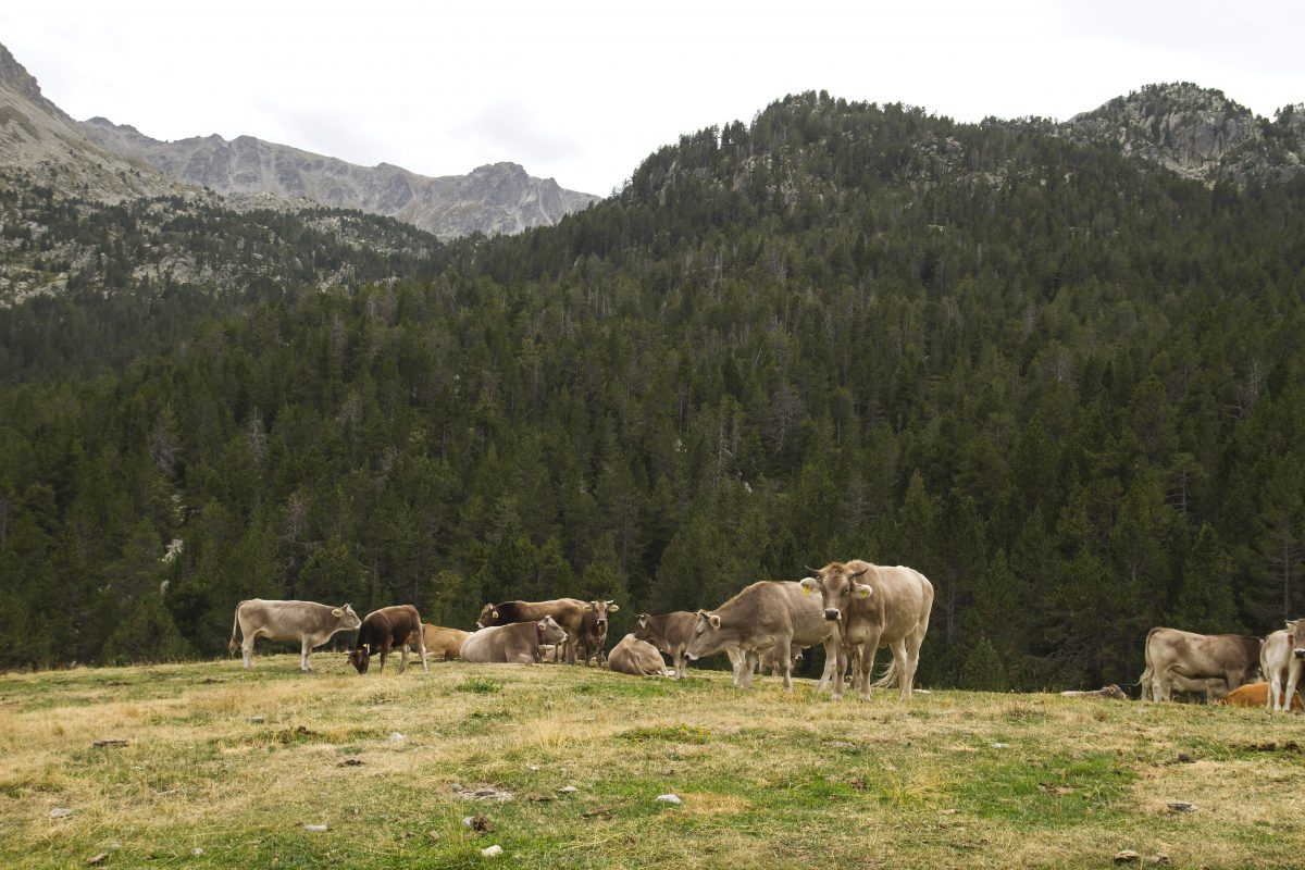 A group of cows in the mountains