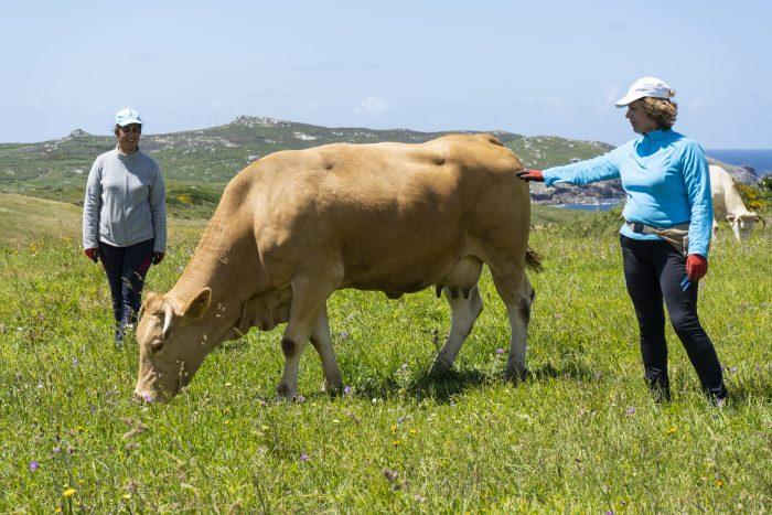 vacas pastando en galicia